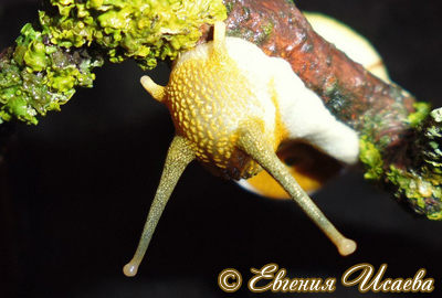 Amphidromus sp. (Фото 8)