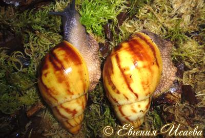 Archachatina marginata (Фото 19)