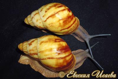 Archachatina marginata (Фото 22)