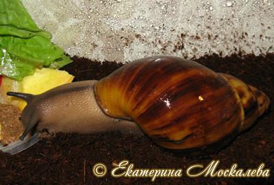 Archachatina marginata (Фото 31)