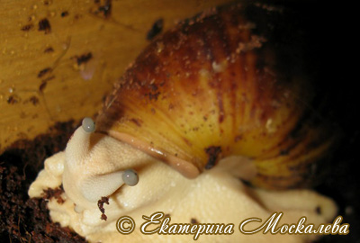 Archachatina marginata (Фото 34)