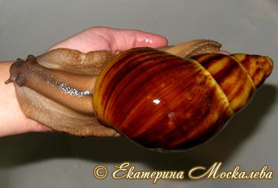 Archachatina marginata (Фото 36)