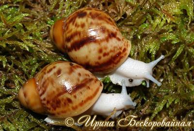 Archachatina marginata (Фото 46)