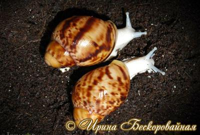 Archachatina marginata (Фото 48)