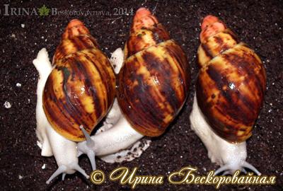 Archachatina marginata (Фото 51)