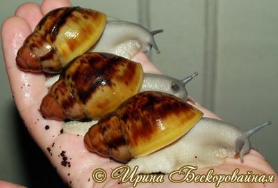 Archachatina marginata (Фото 54)