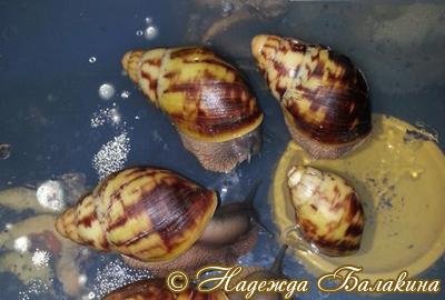 Archachatina marginata (Фото 56)