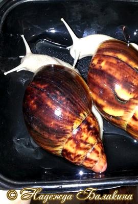 Archachatina marginata (Фото 69)