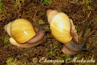 Archachatina marginata (Фото 25)
