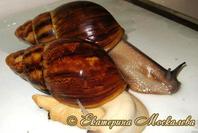 Archachatina marginata (Фото 30)