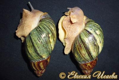 Archachatina papyracea (Фото 10)