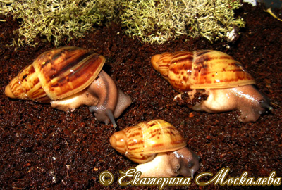 Archachatina papyracea (Фото 12)