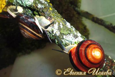 караколус полосатый  - Caracolus marginella