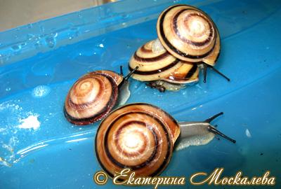 Caracolus sagemon (Фото 28)