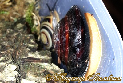 Caracolus sagemon (Фото 45)