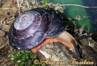 Caracolus sagemon (Фото 47)