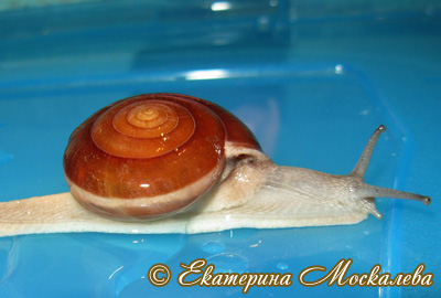 хемиплекта сиамская - H. siamensis