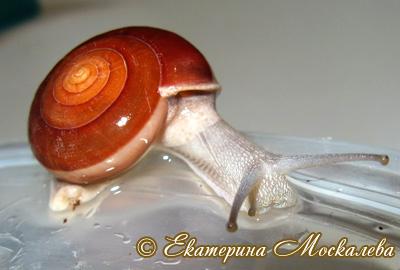 хемиплекта сиаменсис - H. siamensis