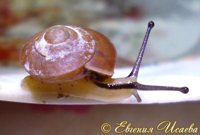 Hemiplecta sp. (Фото 3)