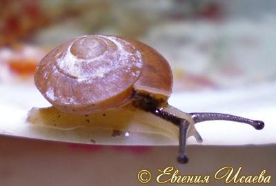 Hemiplecta sp. (Фото 4)