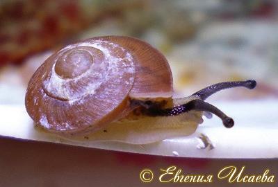 Hemiplecta sp. (Фото 5)