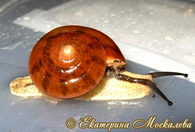 Hemiplecta sp. (Фото 17)