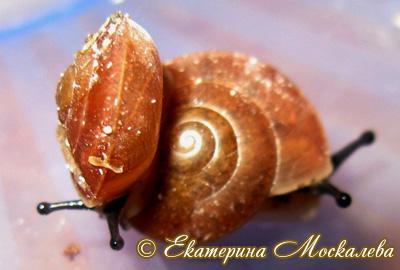 Hemiplecta sp. (Фото 7)