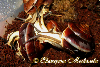 Hemiplecta sp. (Фото 10)