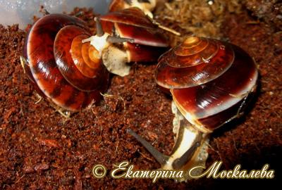 Hemiplecta sp. (Фото 11)