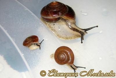 Hemiplecta sp. (Фото 12)