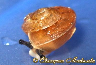 Hemiplecta sp. (Фото 13)
