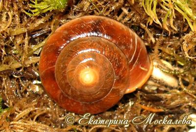 Hemiplecta sp. (Фото 14)