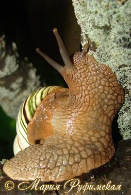 лигуус полосатый - Liguus fasciatus (O.F.Müller, 1774)