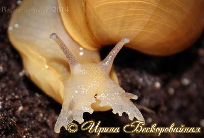Megalobulimus oblongus (Фото 15)