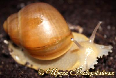 Megalobulimus oblongus (Фото 16)