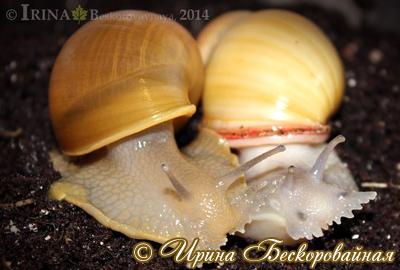 Megalobulimus oblongus (Фото 19)