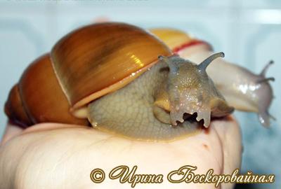 Megalobulimus oblongus (Фото 23)