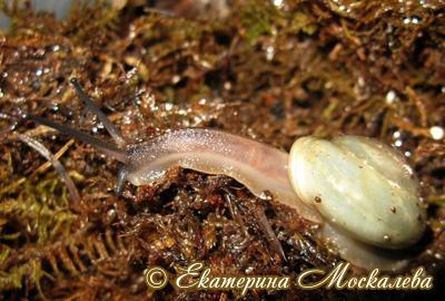 Pleurodonte isabella (Фото 11)