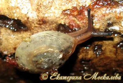 Pleurodonte isabella (Фото 12)