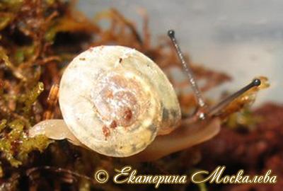 Pleurodonte isabella (Фото 13)