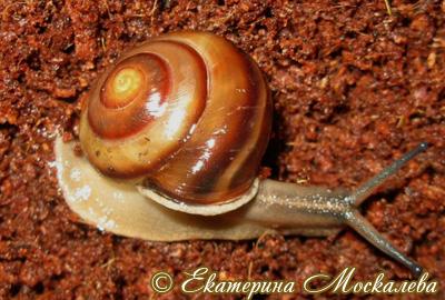 Pleurodonte isabella
