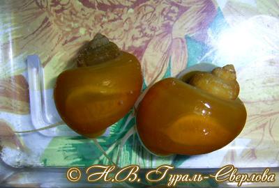 Pomacea diffusa (Фото 10)