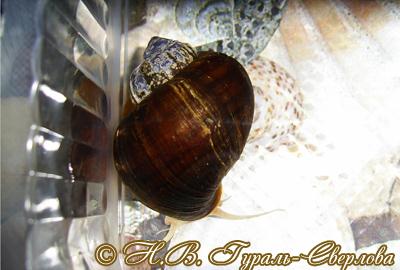 Pomacea diffusa (Фото 4)