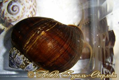 Pomacea diffusa (Фото 6)