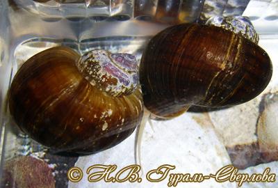Pomacea diffusa (Фото 7)