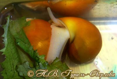 Pomacea diffusa (Фото 8)