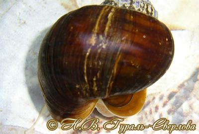 Pomacea diffusa (Фото 9)