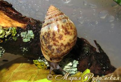 Pythia scarabeus