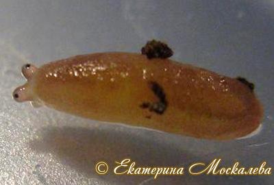 вероницелла кубинская - Veronicella cubensis