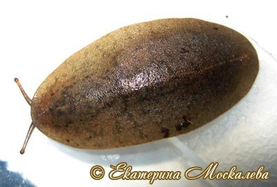 Veronicella cubensis (Фото 9)